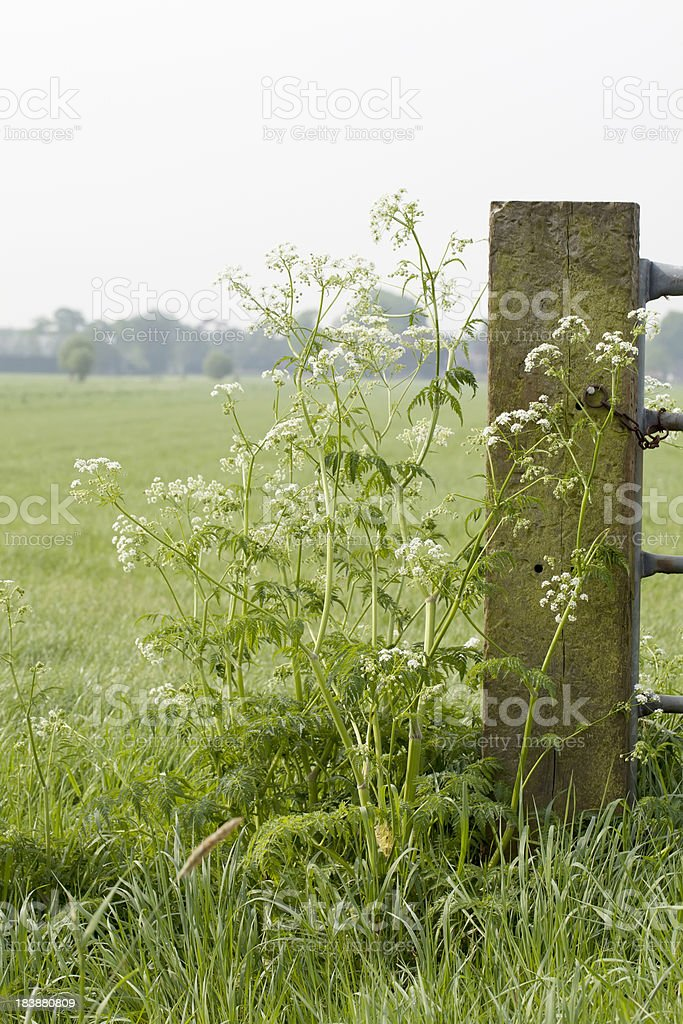Cow Parsley (Anthriscus sylvestris) royalty-free stock photo