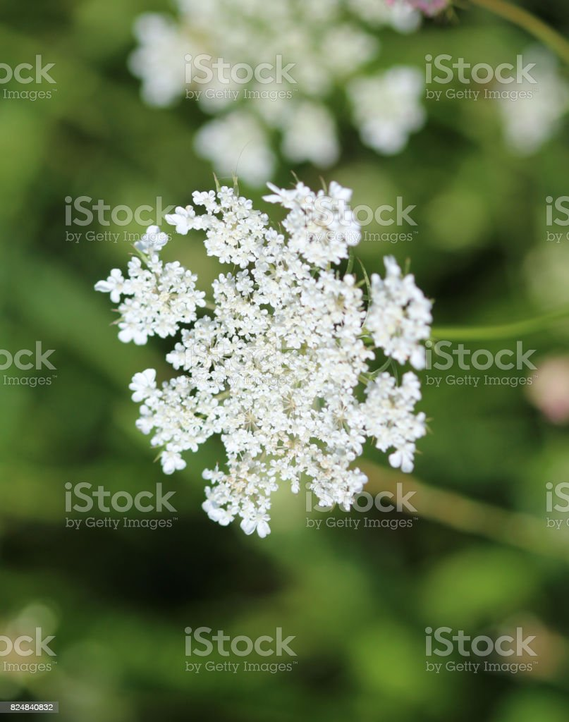 cow parsley (Anthriscus sylvestris) stock photo