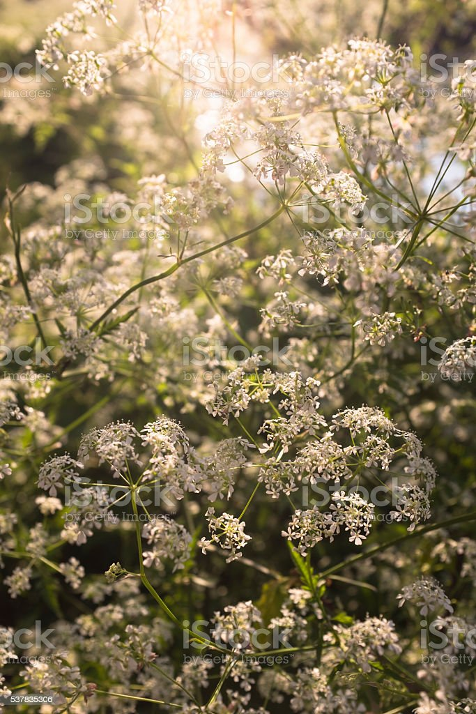 Cow Parsley Sometimes Known As Queen Anne's Lace stock photo