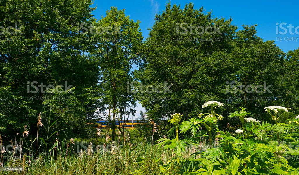 Cow parsnip along a road in summer stock photo