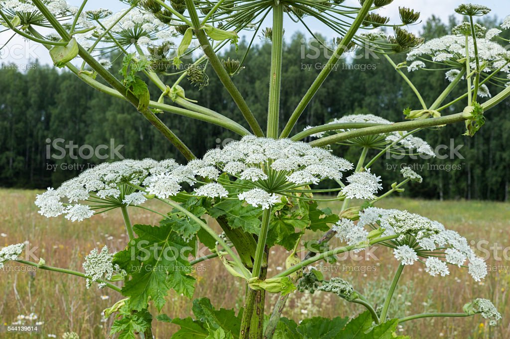 cow parsnip blooms stock photo