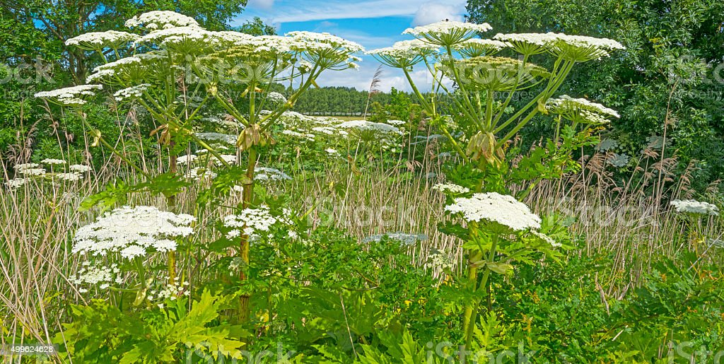 Cow parsnip growing in nature in summer stock photo