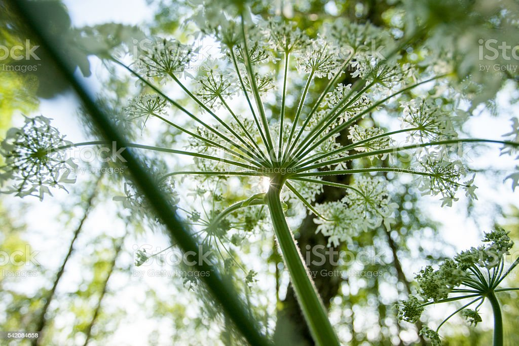 Cow parsnip in summer stock photo