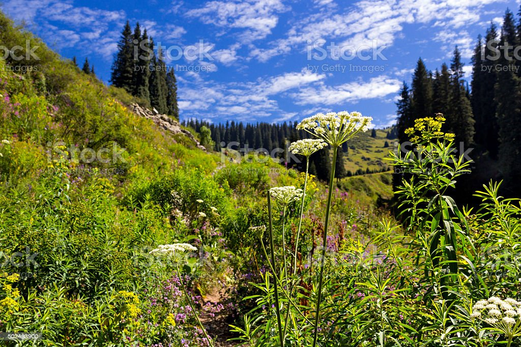 Cow parsnip in the mountains stock photo