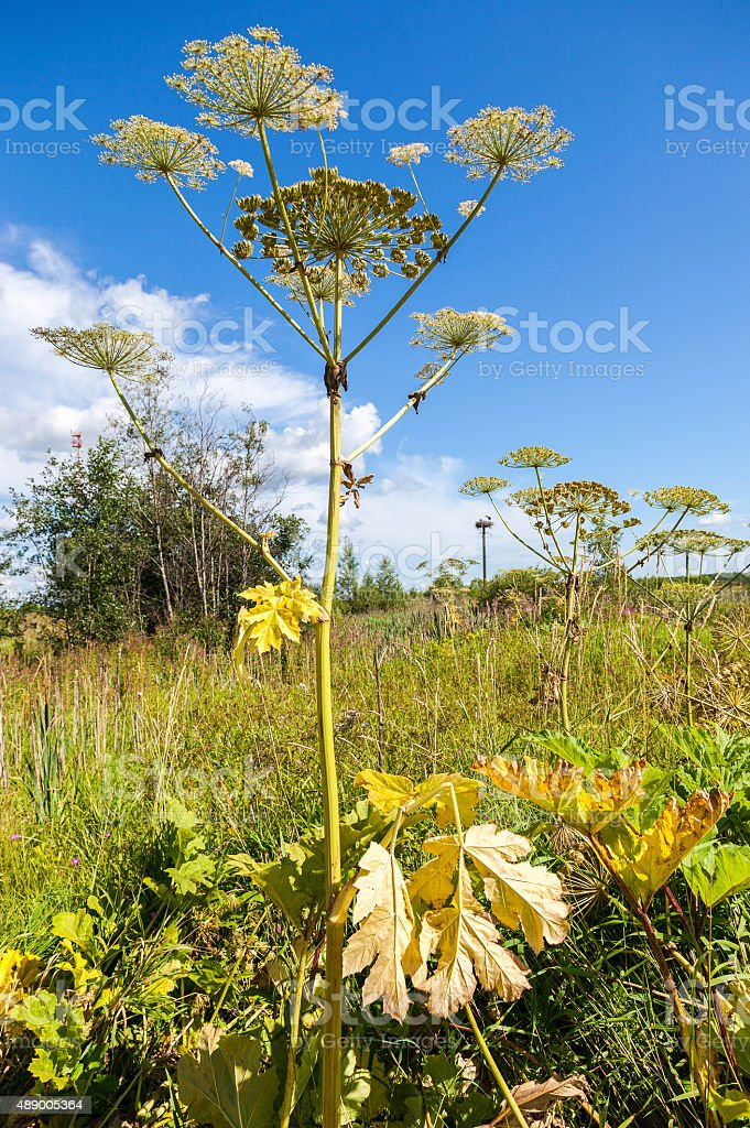 Cow parsnip or the toxic hogweed blossoms stock photo