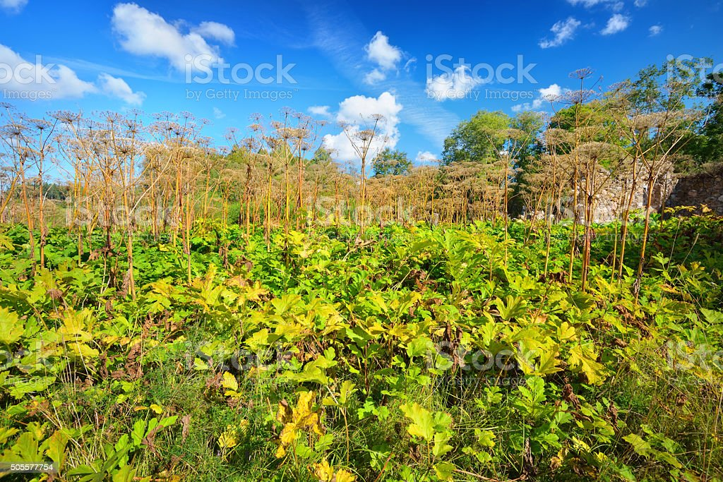 Cow parsnip or the toxic hogweed (Heracleum) stock photo