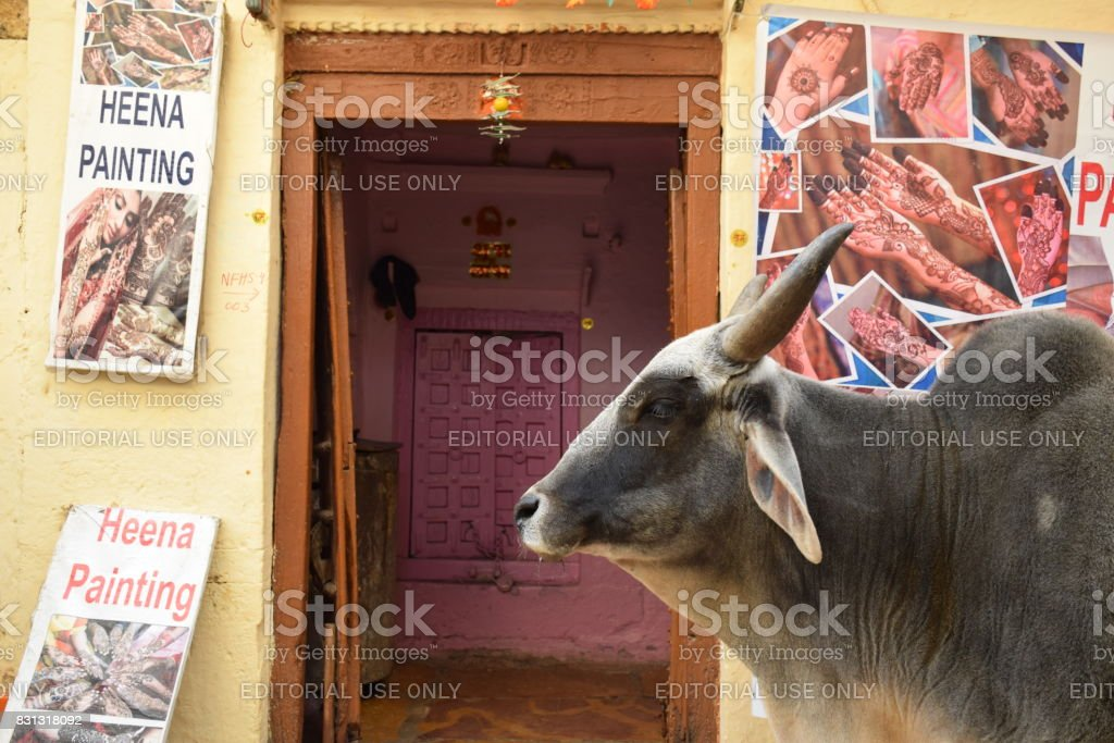 Cow passing in front of a tattoo shop in Jaisalmer, Rajasthan (India) stock photo