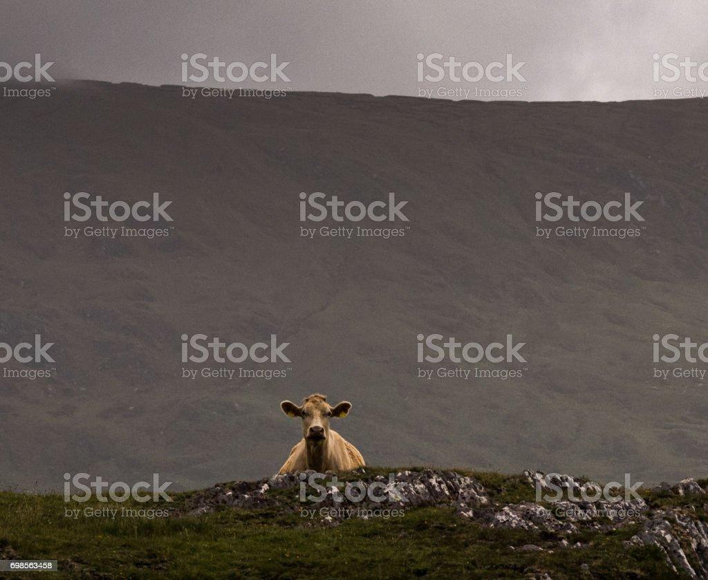 Cow peering stock photo