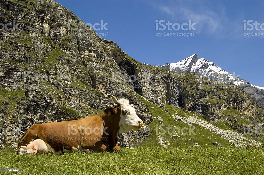 Cow royalty-free stock photo