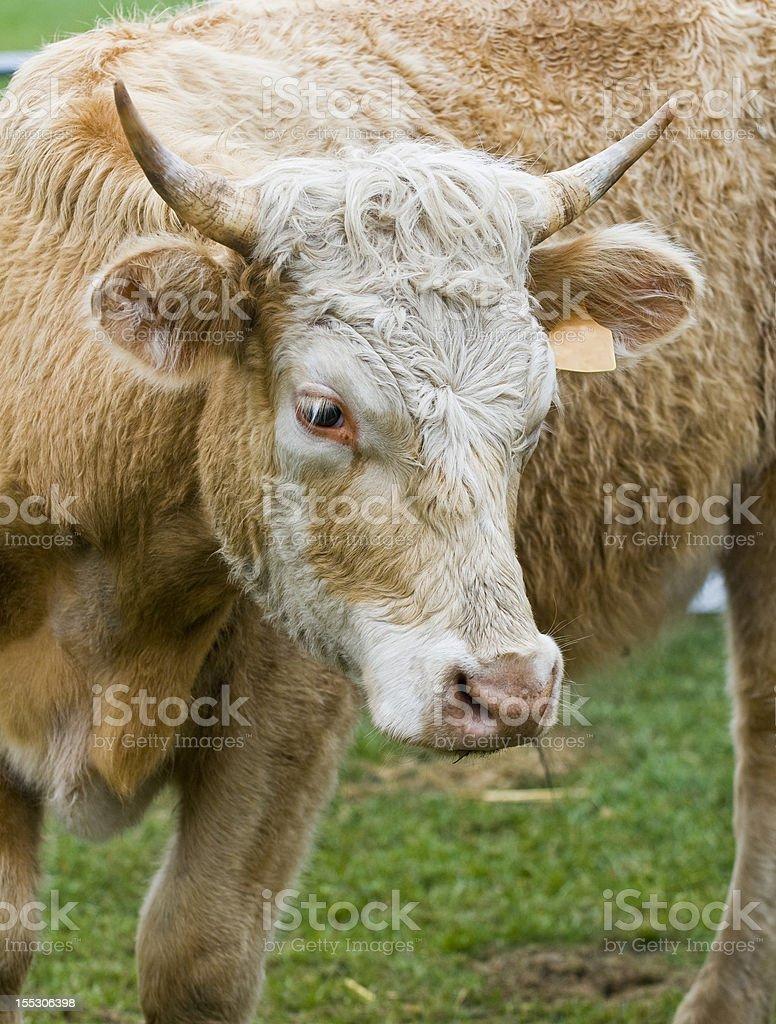 牝牛 ロイヤリティフリーストックフォト