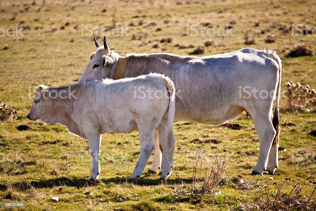 Корова Стоковые фото Стоковая фотография