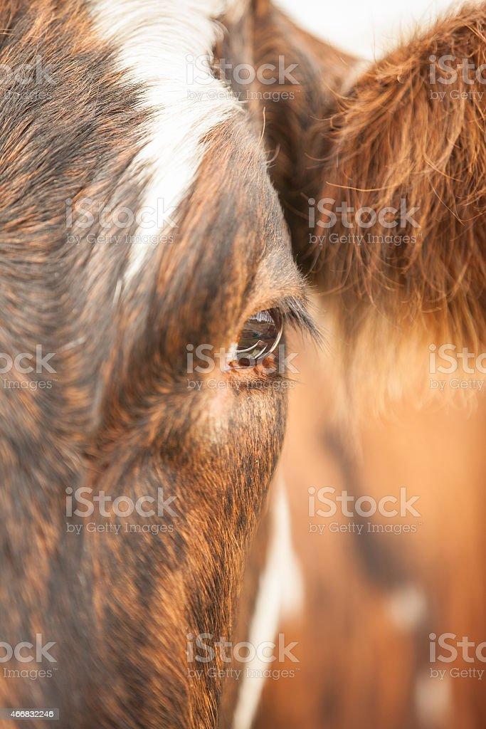 Cow stock photo
