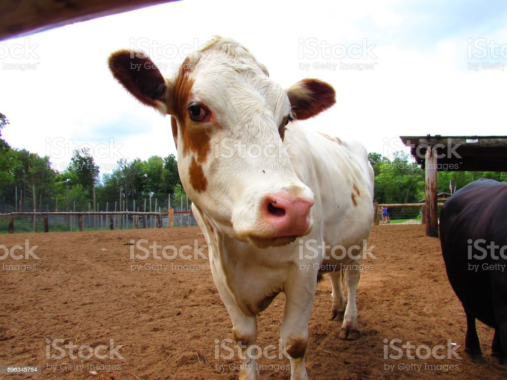 A Cow stock photo