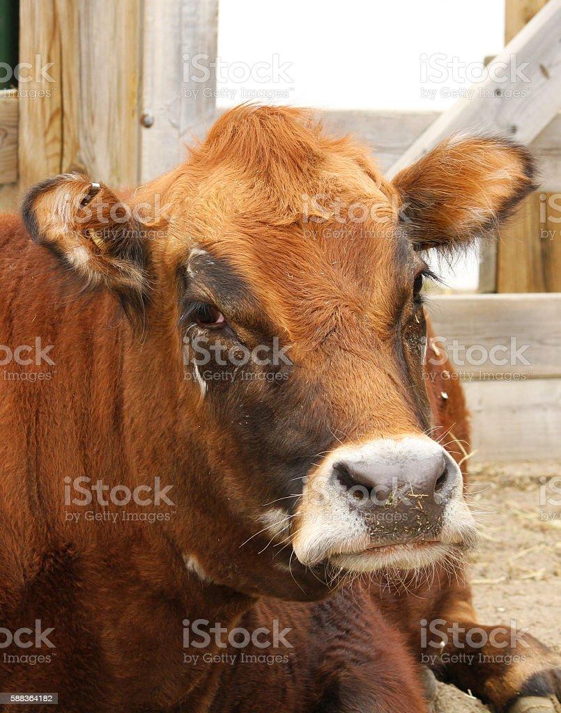 Cow portrait stock photo