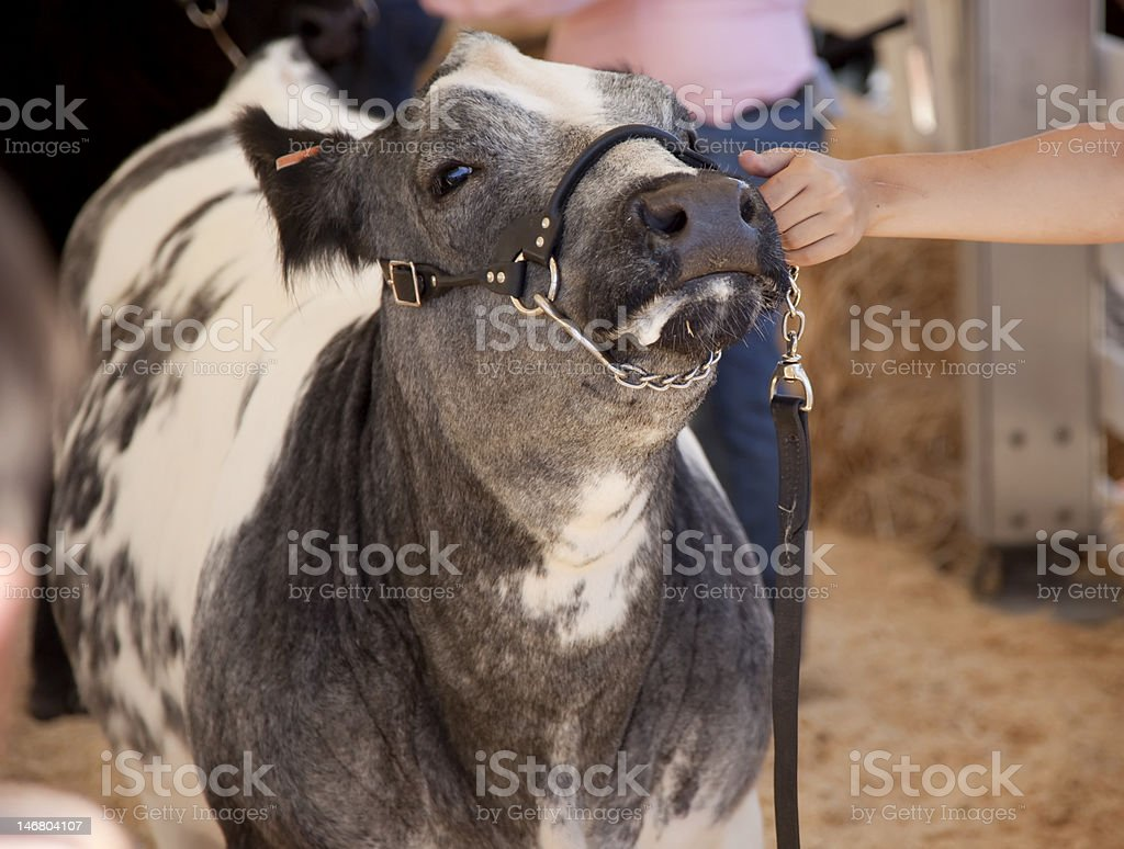 Cow Pull royalty-free stock photo