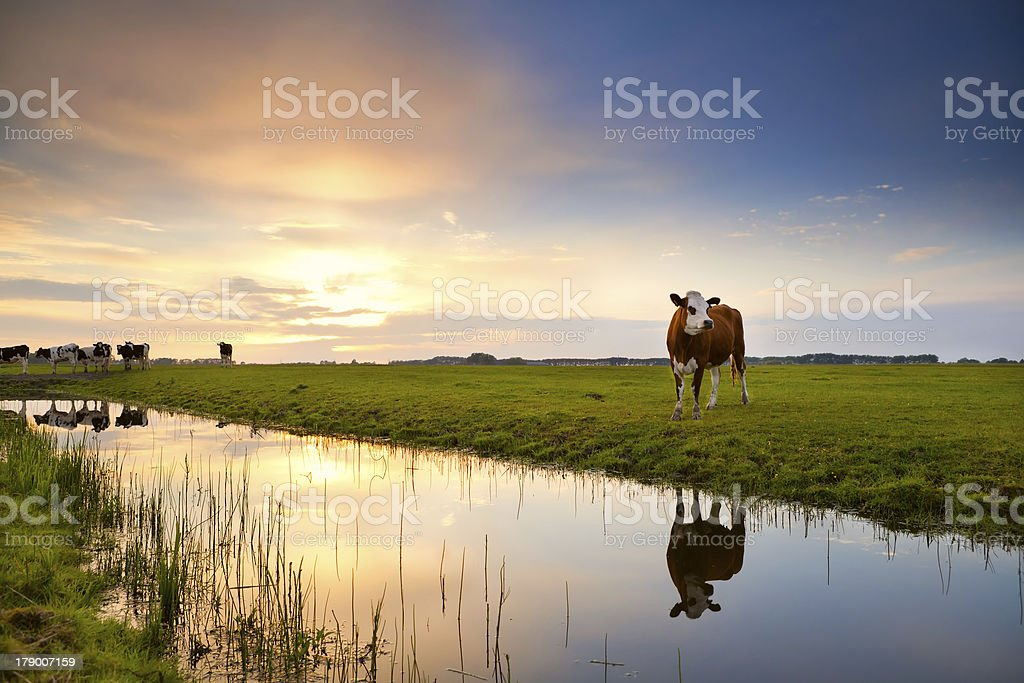 cow reflected in river at sunrise stock photo
