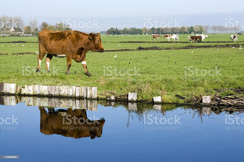 Cow reflection royalty-free stock photo