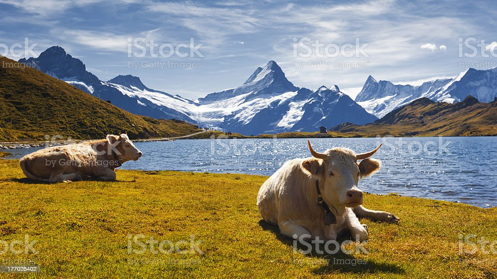 Cow relax in snow covered mountain Landscape stock photo