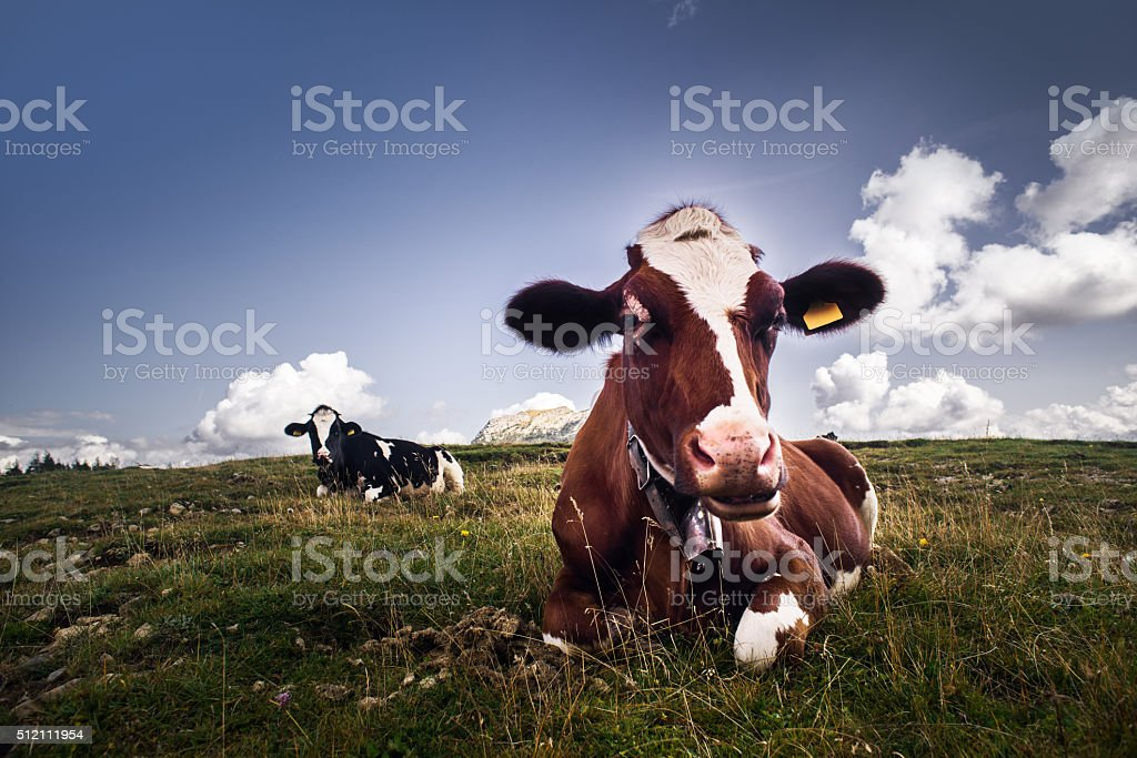 Cow relaxing on grass stock photo