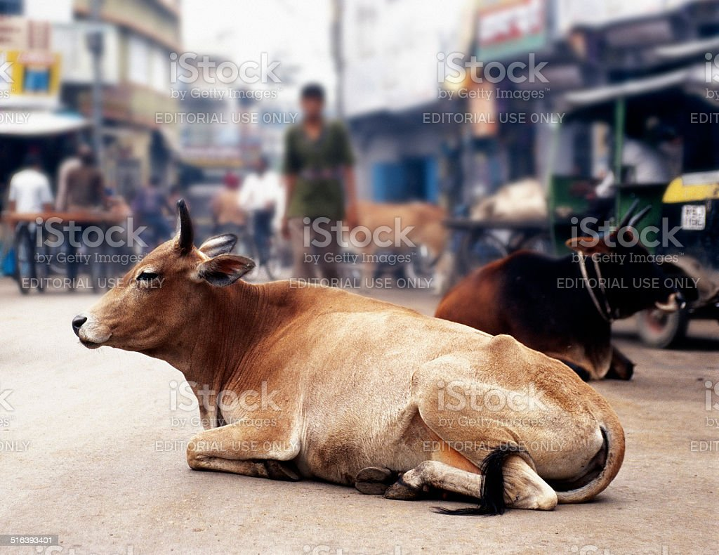 Cow resting in middle of the street stock photo