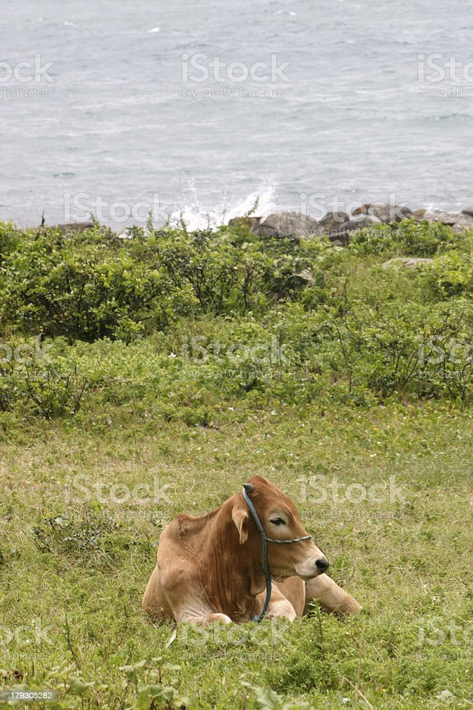 Cow resting royalty-free stock photo