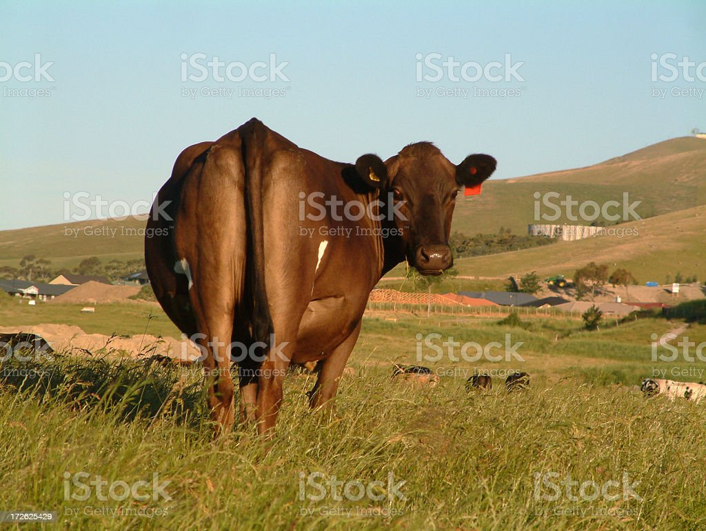Cow - self image royalty-free stock photo