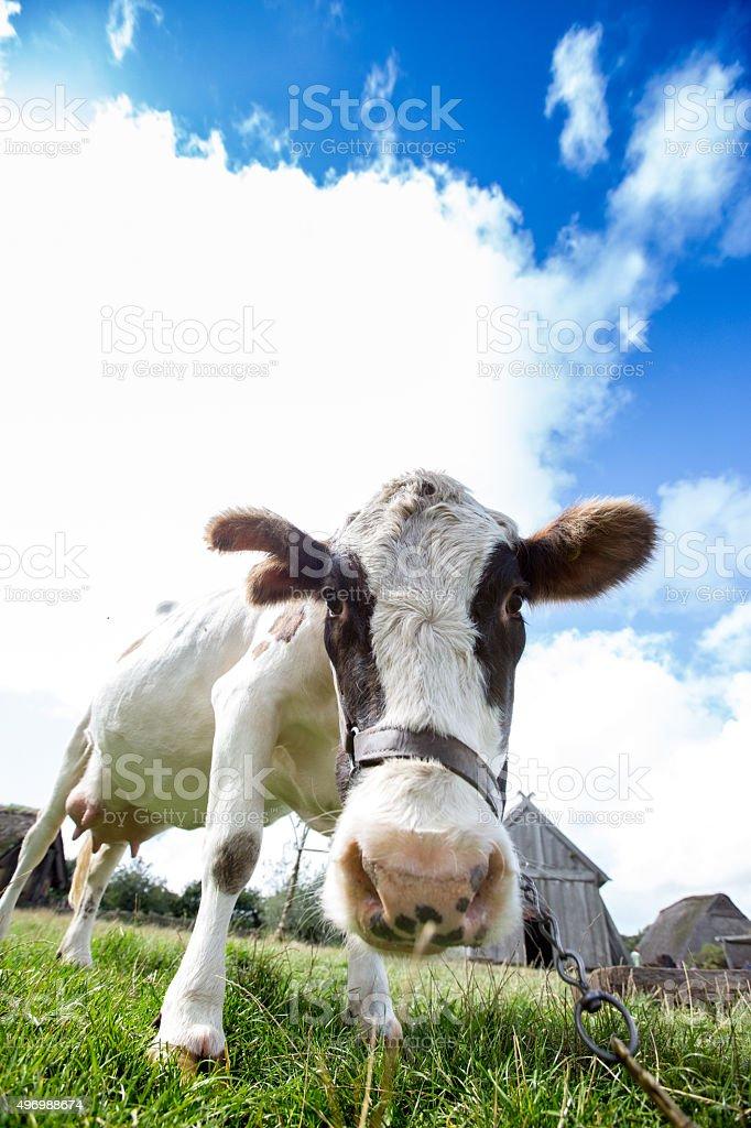 Cow Selfie stock photo