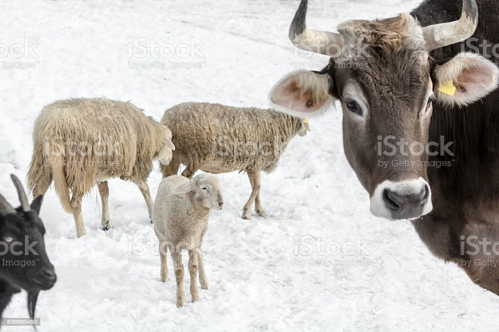 Cow sheep and goat on farm in winter day stock photo