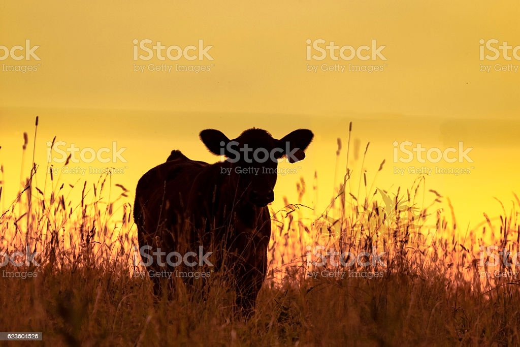 Cow silhouette with yellow sunset background stock photo