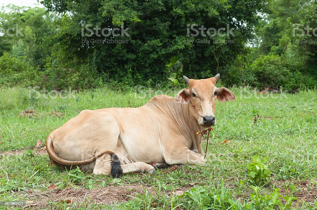 Cow sitting stock photo