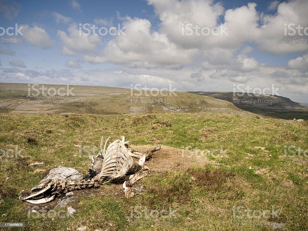 Cow Skeleton royalty-free stock photo