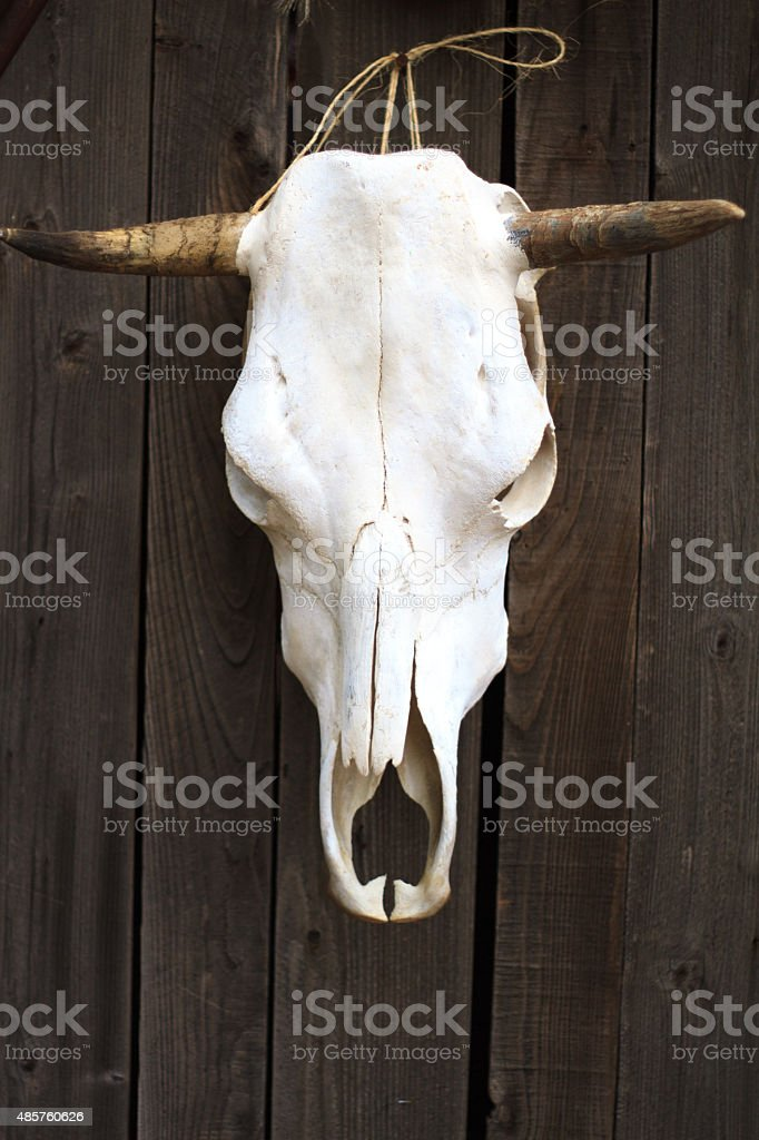 Cow Skull Hanging on Distressed Old Plank Door (Close-Up) stock photo