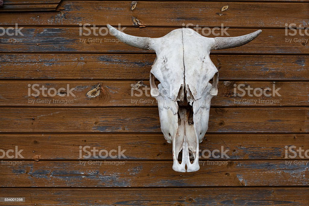 cow skull hanging on the wall stock photo