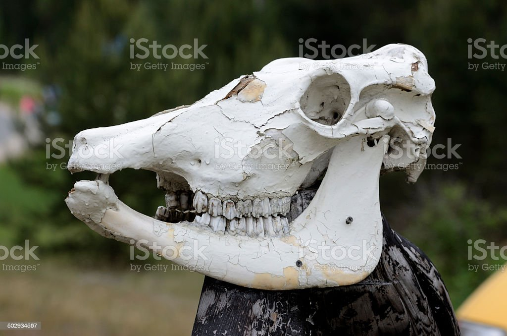 cow skull on a pole outdoors stock photo