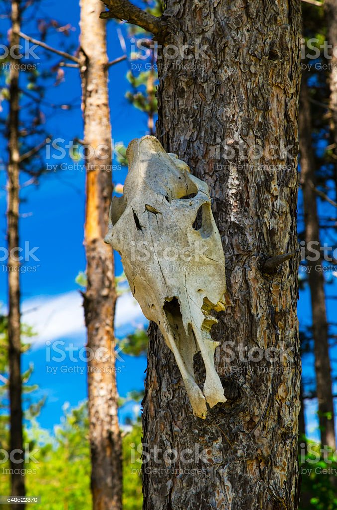 Cow skull on tree in the forest stock photo
