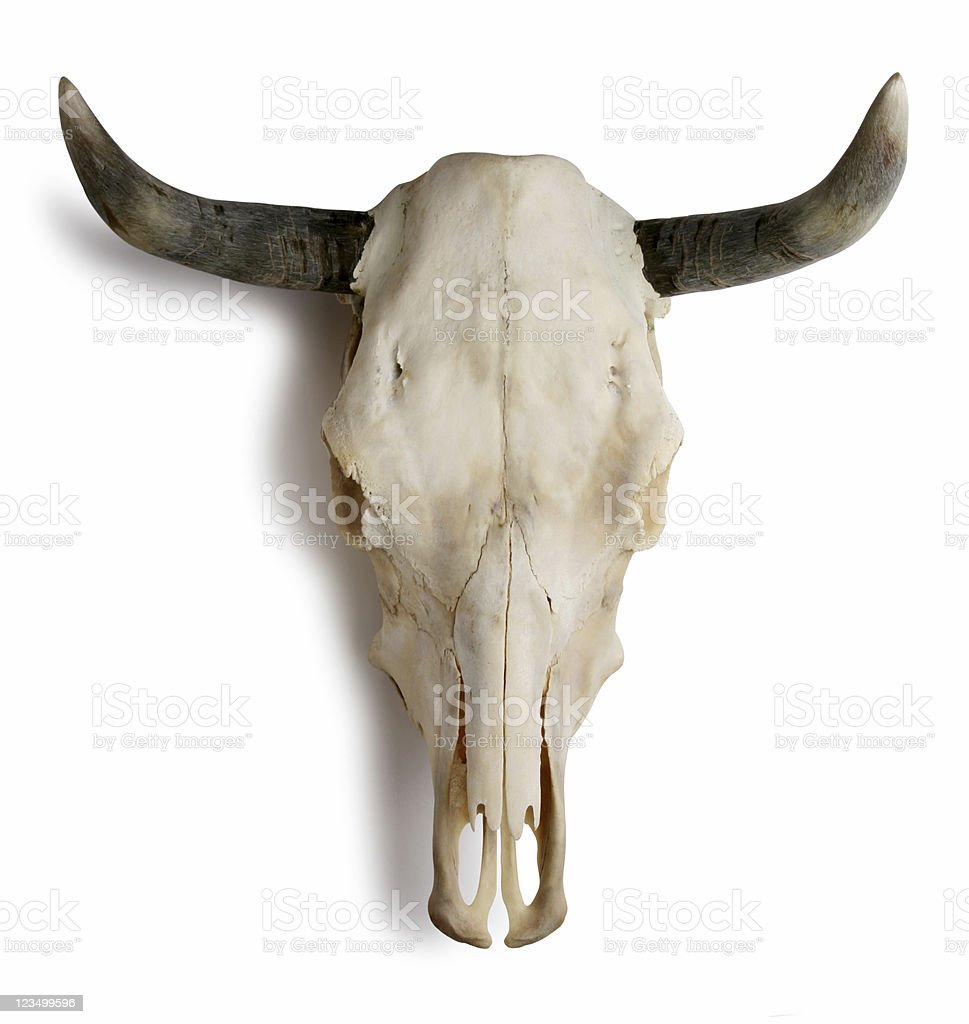 Cow Skull on White royalty-free stock photo