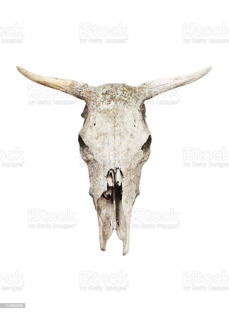 Cow skull stock photo