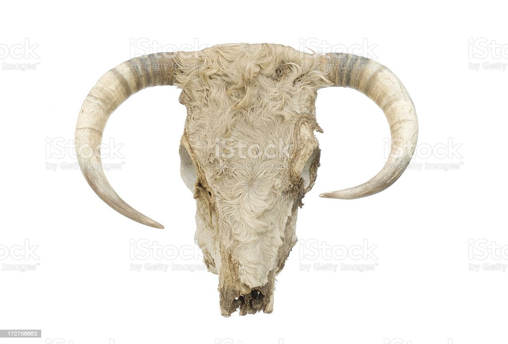 cow skull with horns royalty-free stock photo