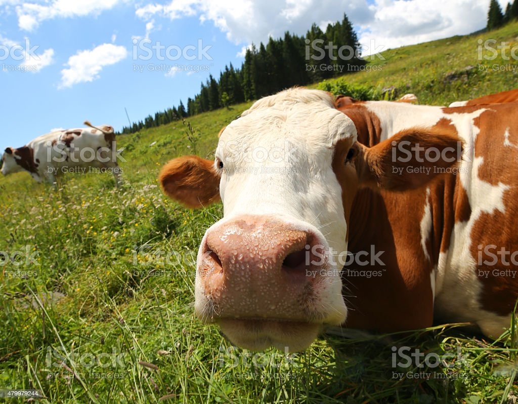 cow snout photographed with fisheye lens stock photo