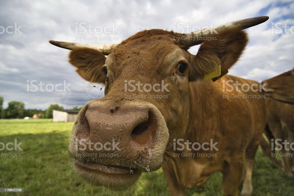 Cow Snout stock photo