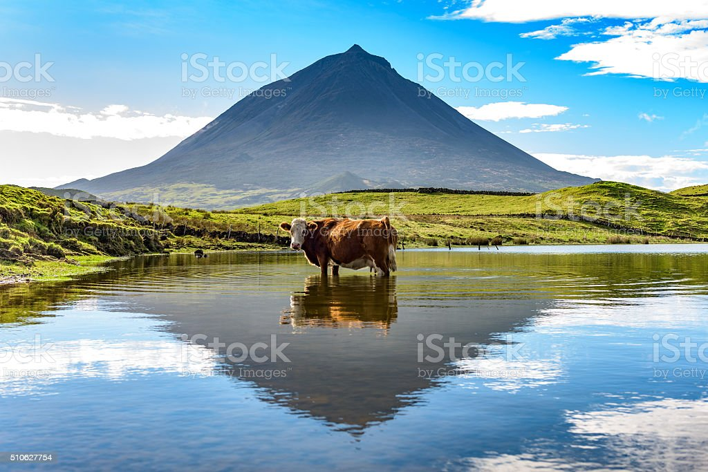 Cow standing in a lake, mount Pico in the background stock photo
