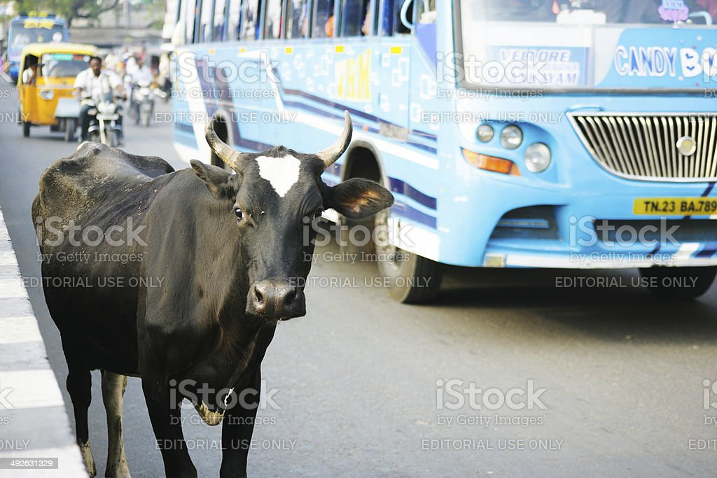 Cow standing on main road in Vellore stock photo