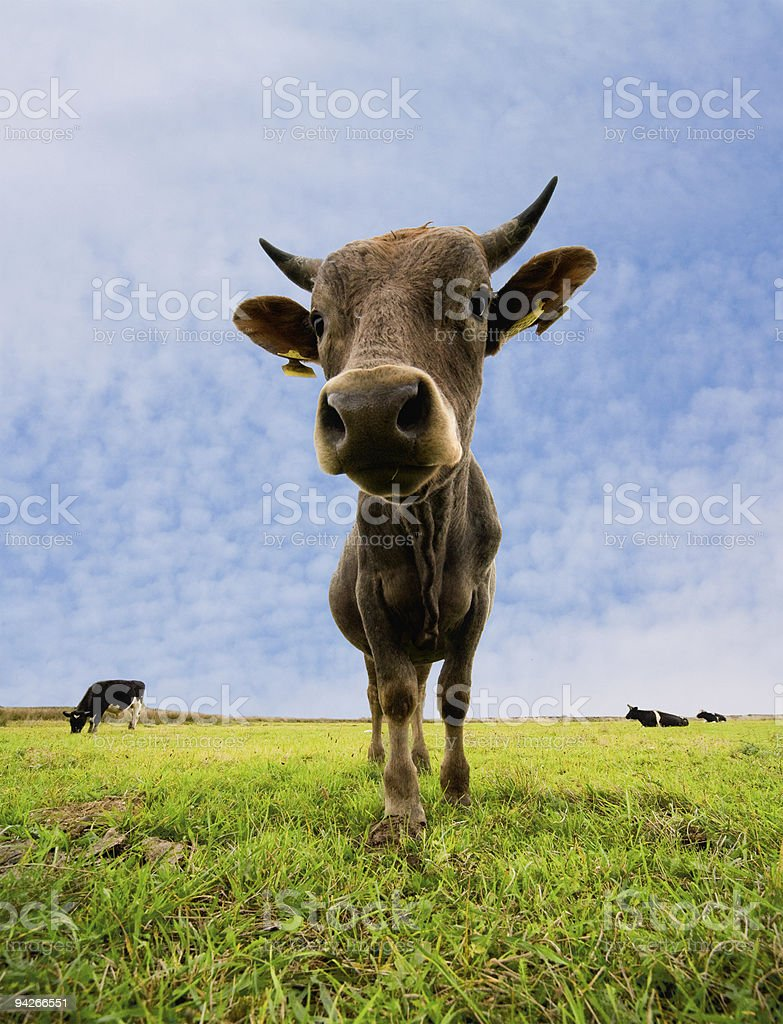cow standing stock photo