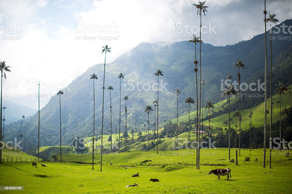 Cow stands by palm trees stock photo