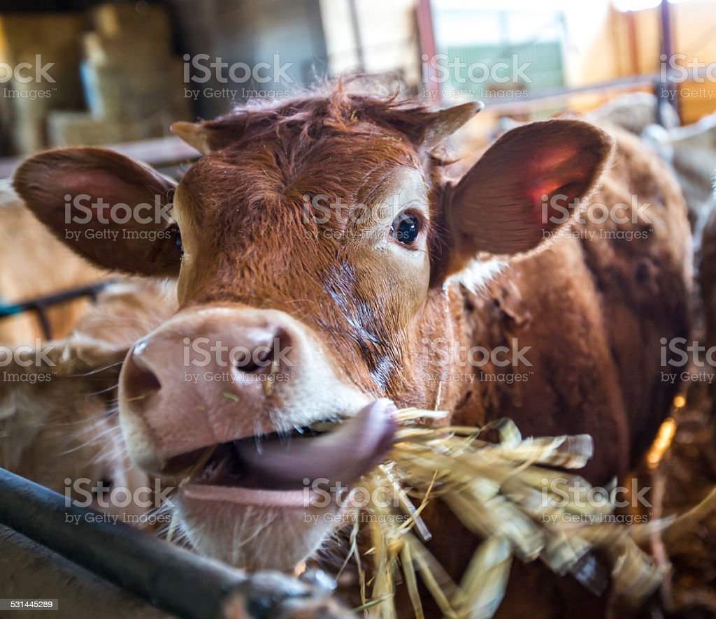 Cow sticking out stock photo