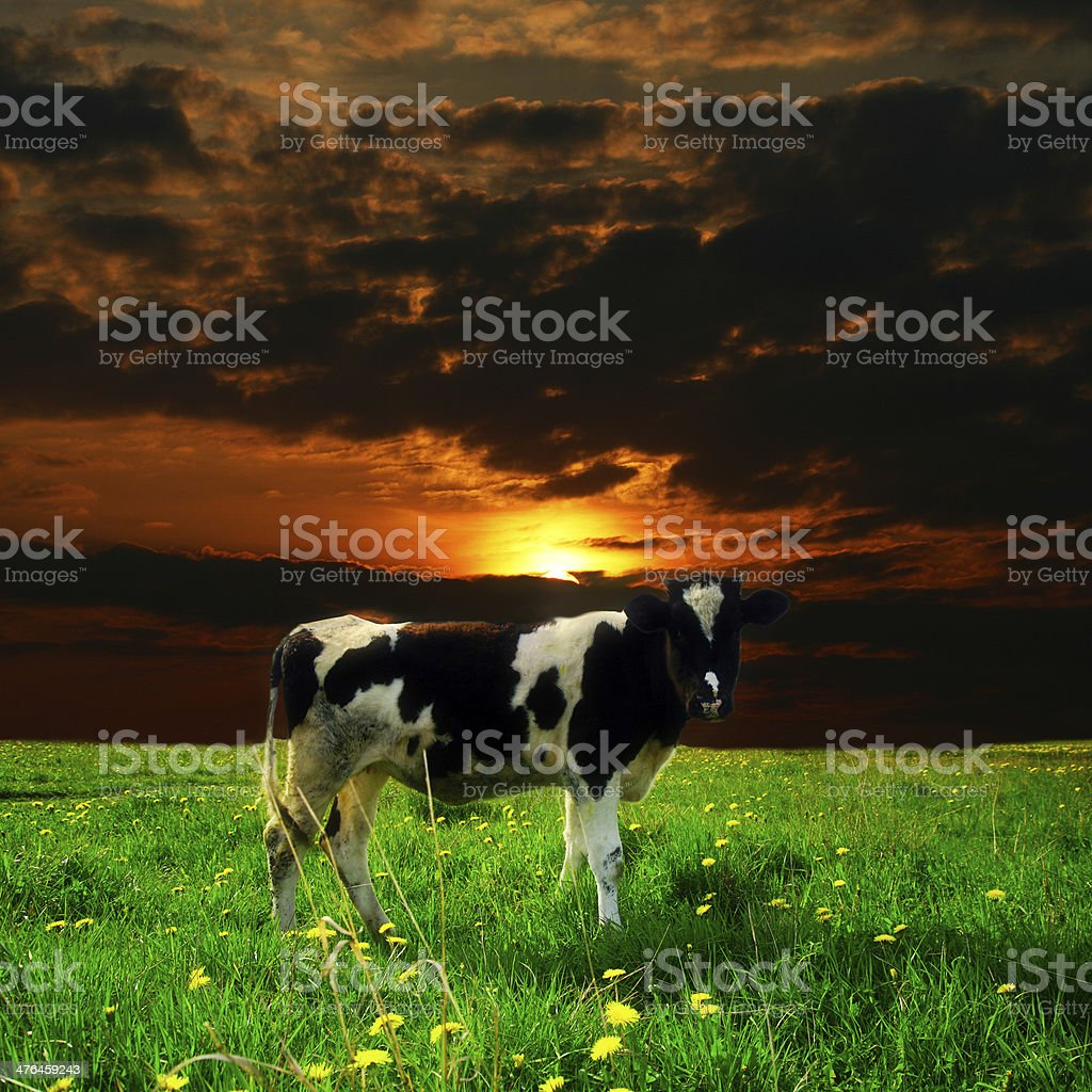 cow sunset royalty-free stock photo
