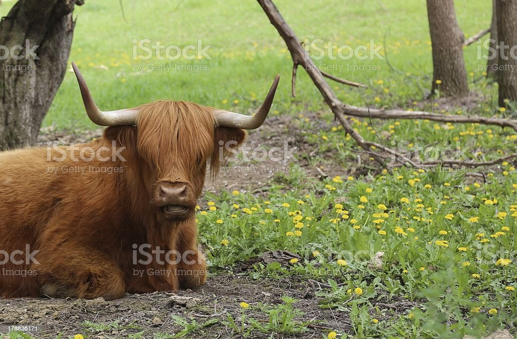 Cow talking to the camera in spring royalty-free stock photo