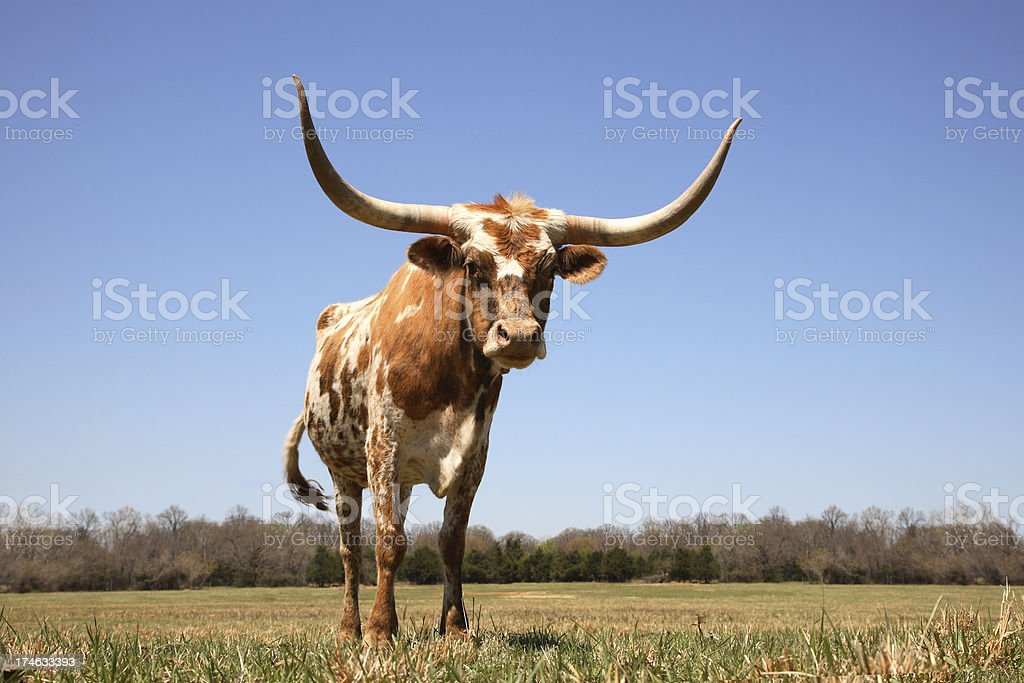 Cow - Texas Longhorn in Field stock photo