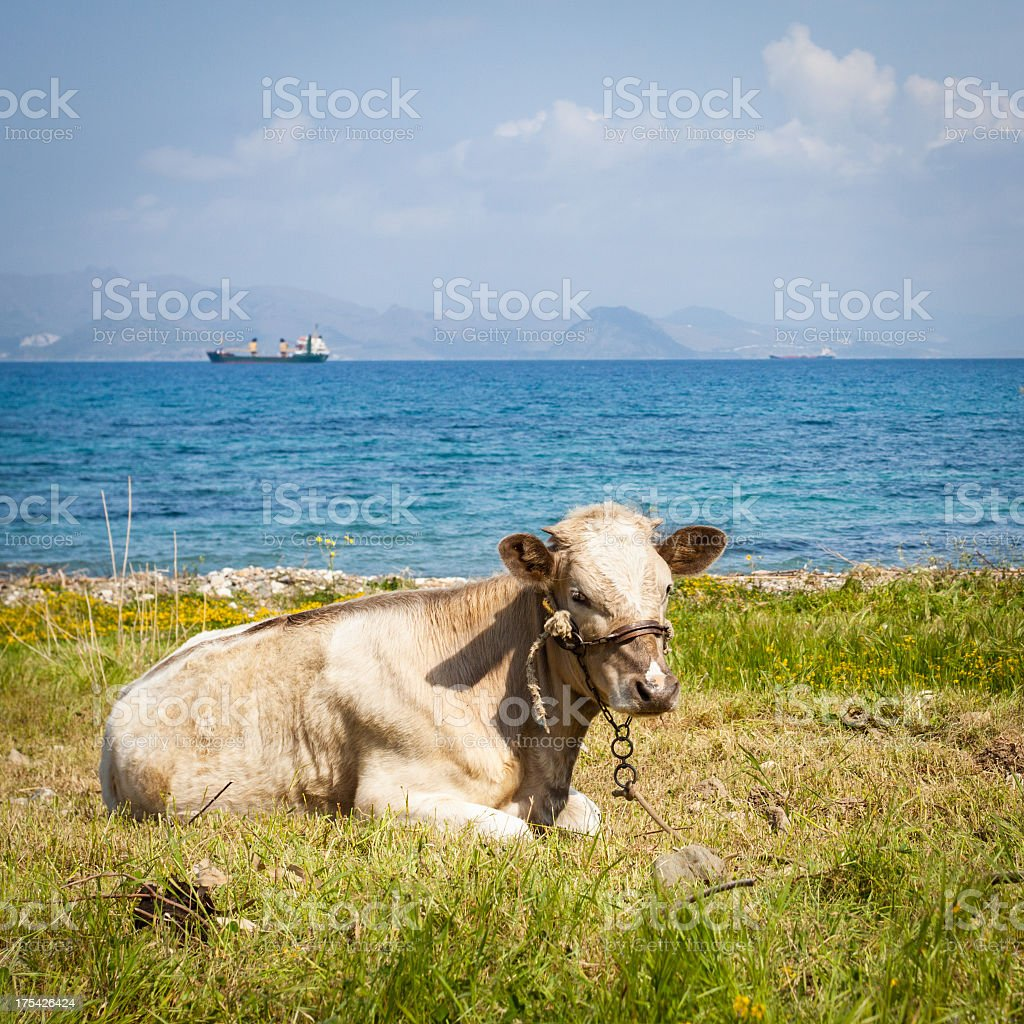 Cow to Pasture stock photo