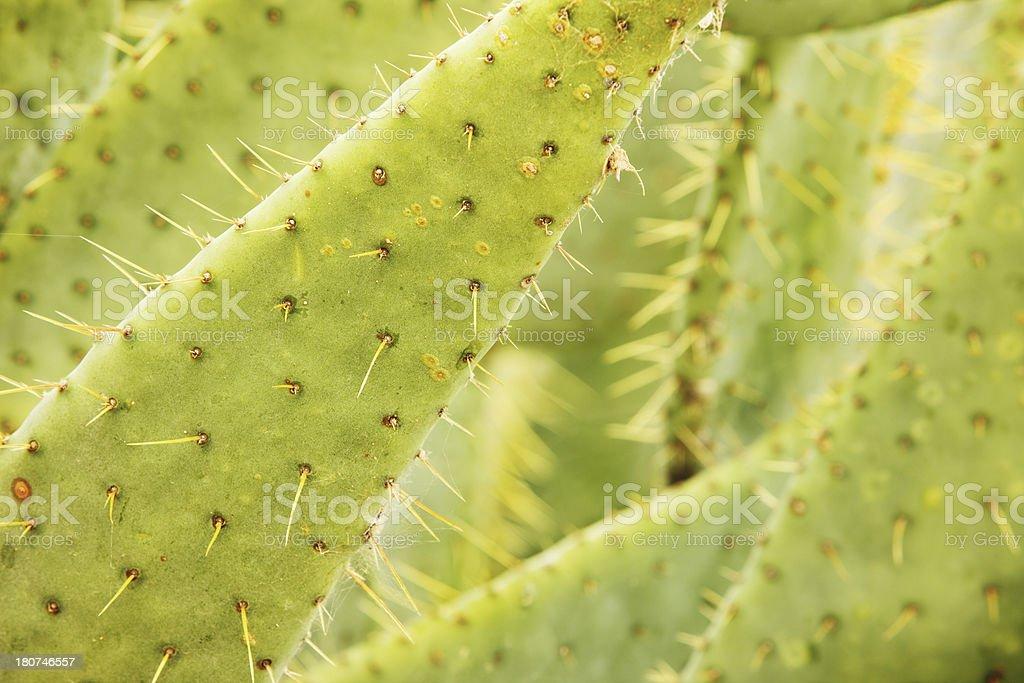Cow Tongue Cactus Opuntia engelmannii Plant royalty-free stock photo